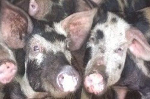 Article : La mésaventure d'un éleveur de porcs