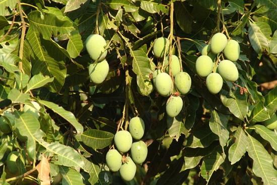 manguier,